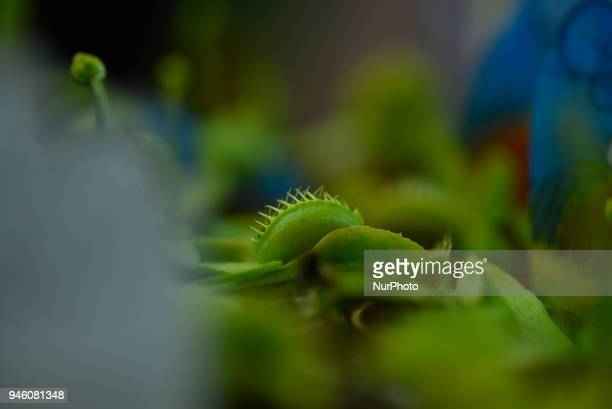 Bug eating carnivorous plants Venus flytrap showcased for sale during 21st Flora Expo 2018 at Kathmandu Nepal on Friday April 13 2018 It is a yearly...