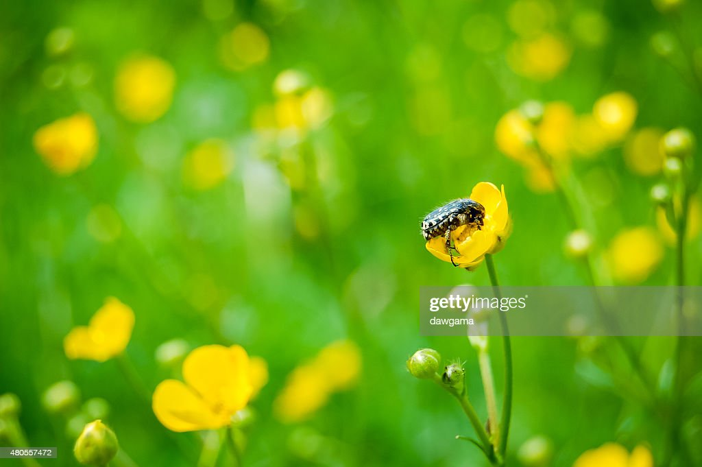 Bug on a yellow flower : Stock Photo
