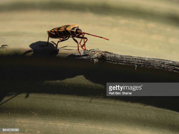 Bug on Welwitschia mirabilis in the Namibian desert