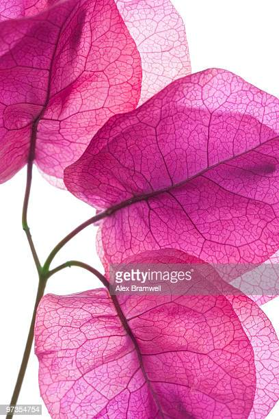 buganvillea - tropical bush stock photos and pictures