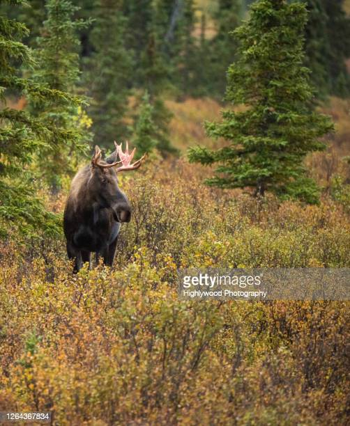 bug-eyed moose - highlywood stock pictures, royalty-free photos & images