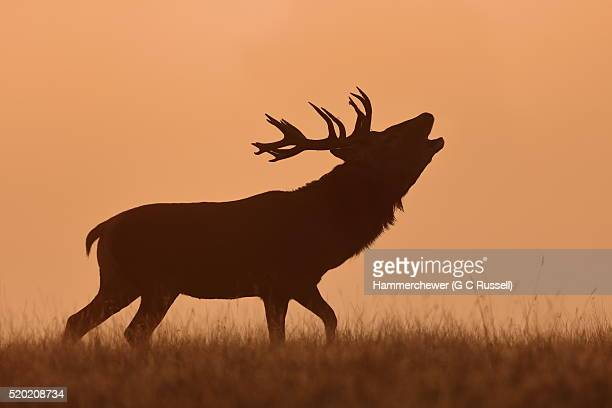 bugling stag - bugle stock pictures, royalty-free photos & images