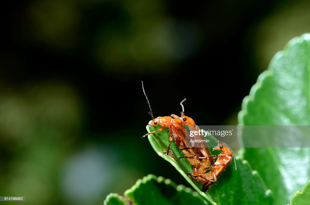 bugs having sex on a plant : Stock Photo