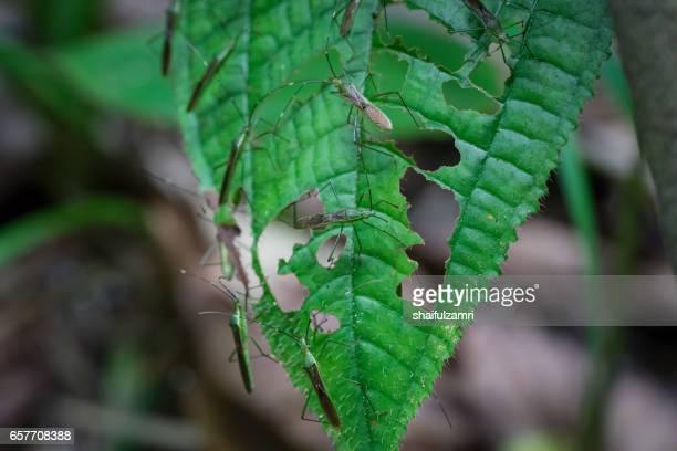 bugs on leaf in royal belum rainforest park, perak, malaysia - shaifulzamri stockfoto's en -beelden