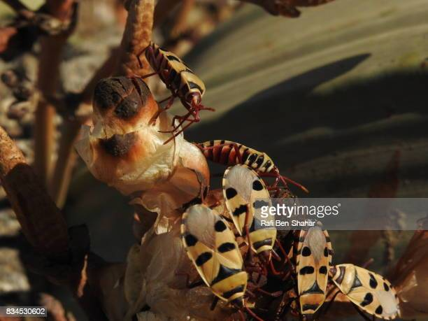 Bugs on Welwitschia mirabilis in the Namibian desert