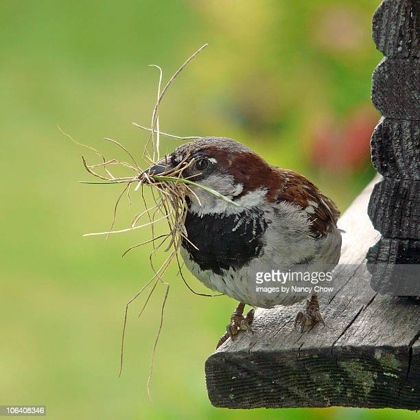 building a nest - animal nest stock pictures, royalty-free photos & images