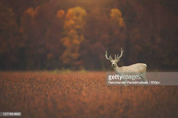 bukhara deer(cervus elaphus bactrianus)in autumn scenery - sunset stock pictures, royalty-free photos & images