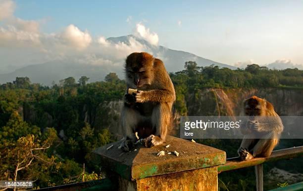bukittinggi monkeys - west sumatra province stock pictures, royalty-free photos & images