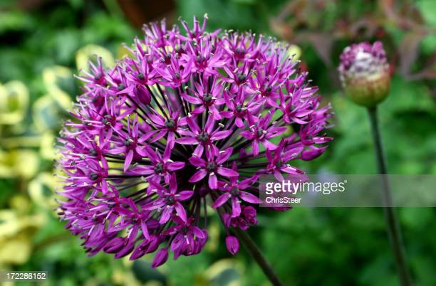 Bulbous Summer Flower in full bloom