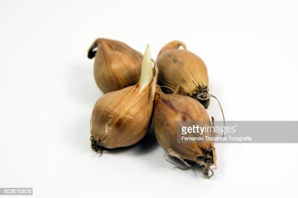 bulbs - blumenzwiebel stock-fotos und bilder
