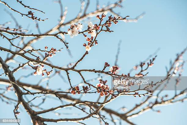 bulgaria, twigs of blossoming apricot tree - apricot tree stock pictures, royalty-free photos & images