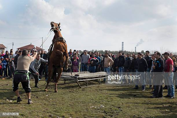 Bulgarian Roma participate in a weight pulling contest during the festival of Horse Easter in the Fakulteta neighborhood of Sofia on February 28 2015...