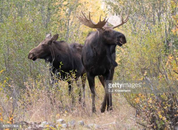Bull and Cow moose standing together in autumn forest, Grand Teton National Park, Wyoming, USA.