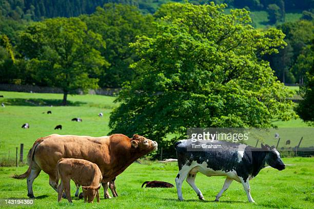 Bull and cows in meadow near Easedale in the Lake District National Park Cumbria UK