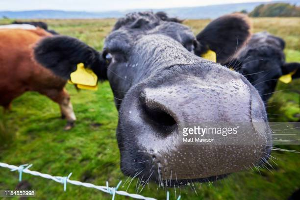 a  bull and dairy cows. yorkshire england uk - オトレイ ストックフォトと画像