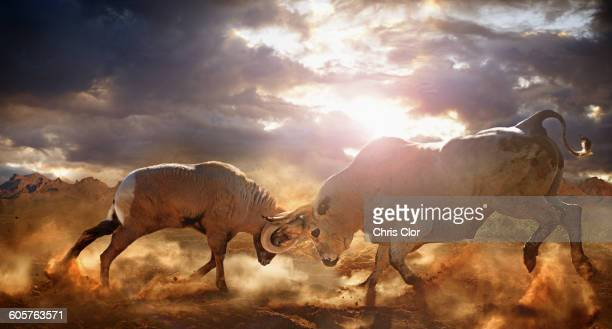 Bull and ram fighting in dusty field