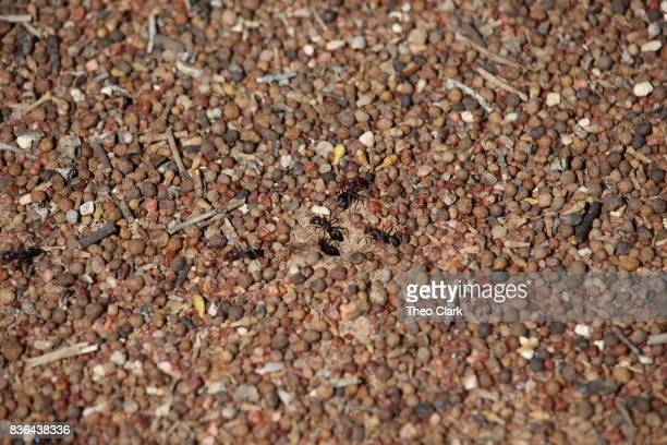 Bull ant nest