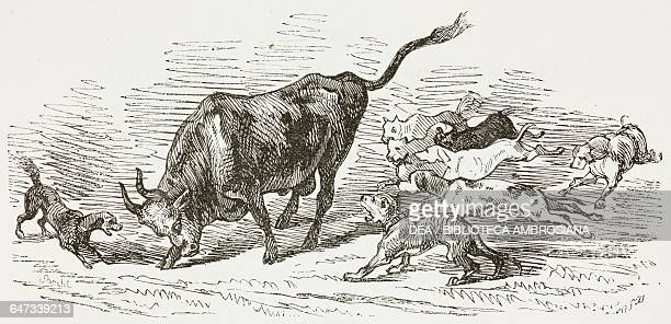 Bull being attacked by dogs allegory of Clorinda illustration from The Liberation of Jerusalem by Torquato Tasso canto III XXXII Volume 1 with...