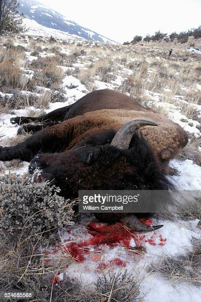 A bull bison dead in the snow after being shot by a hunter in the Eagle Creek area of the Gallatin National Forest along the nothern border of...
