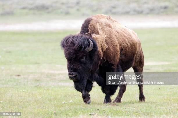 Bull Bison Tough