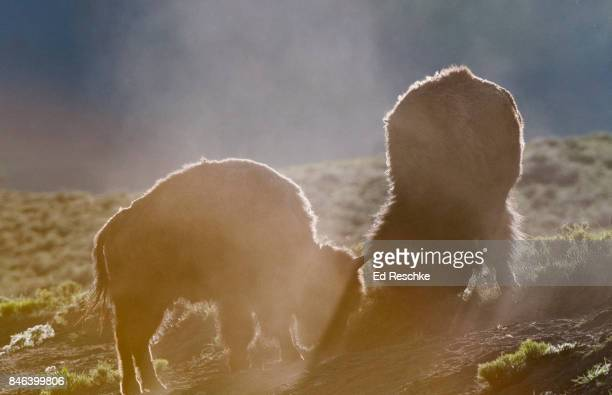 Bull Bisons (Bison bison) Sparring and kicking up dust in Yellowstone National Park, Wyoming