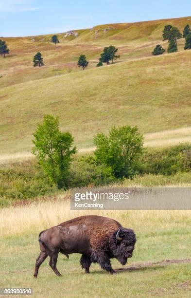 Bull Buffalo on the Great Plains