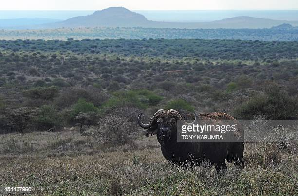 A bull Cape Bufallo grazes on August 6 2014 at the Ol Jogi rhino sanctuary in the Laikipia county approximately 300 kilometres north of the Kenyan...