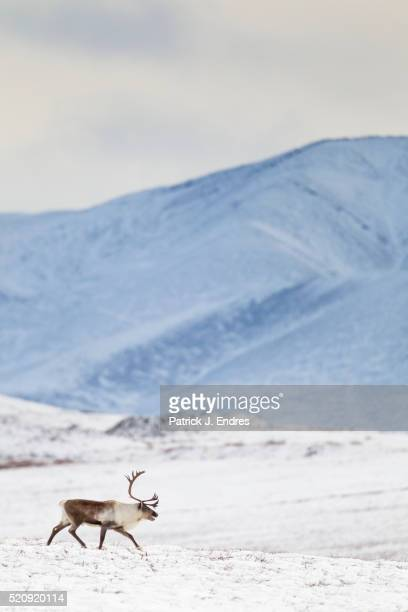 bull caribou on snowy tundra - tundra stock pictures, royalty-free photos & images