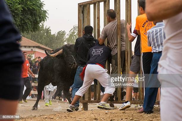 A bull charges a fence with festivalgoers hiding behind during the 'Toro de la Pena' festival former known as 'Toro de la Vega' in the central...
