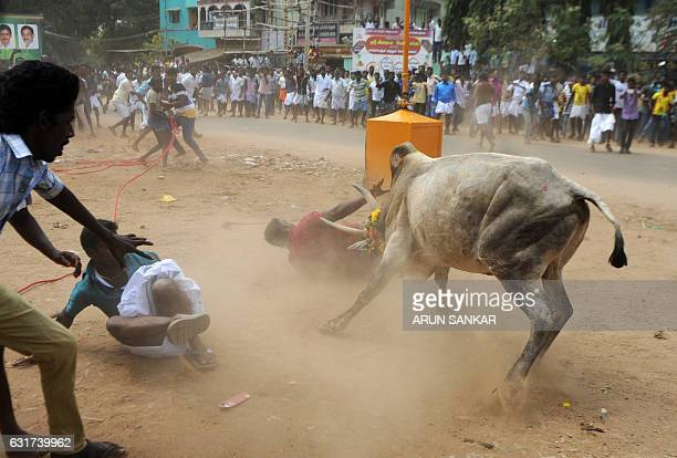 A bull charges through a crow of Indian participants and bystanders during Jallikattu an annual bull fighting ritual on the outskirts of Madurai on...