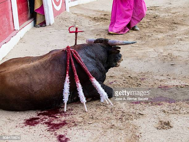 Bull died on the sand with a fixed sword