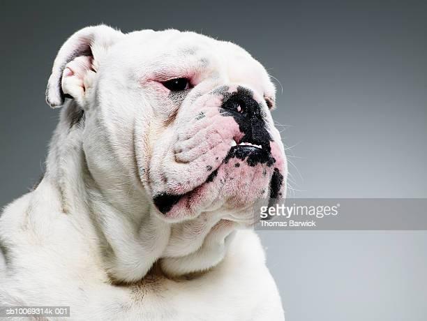 Bull dog, close-up
