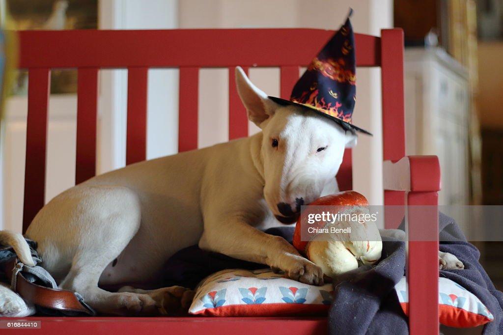 Bull dog for Halloween : Stock Photo