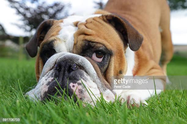 Bull dog in grass