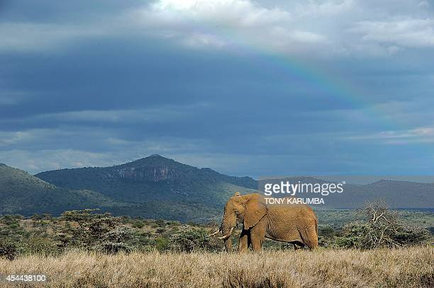 A bull Elephant forrages in the evening light on August 7 2014 at the Ol Jogi rhino sanctuary in the Laikipia county approximately 300 kilometres...