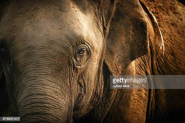 a bull elephant in thailand. - asian elephant stock pictures, royalty-free photos & images