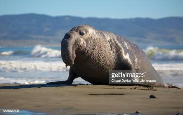 bull elephant seal - elefante marinho imagens e fotografias de stock
