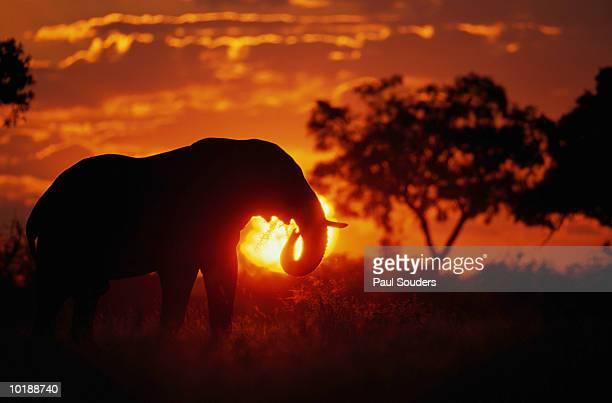 Bull Elephant ( Loxodanta africana) silhouetted by setting sun