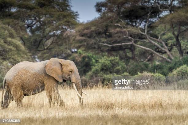 Bull elephant walking in bush, Amboseli, Kenya