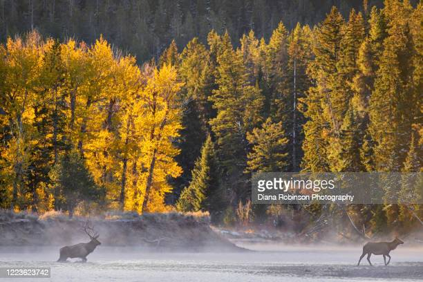 bull elk and female crossing the snake river through the mist just after sunrise, grand teton national park, wyoming - bull snake stock pictures, royalty-free photos & images