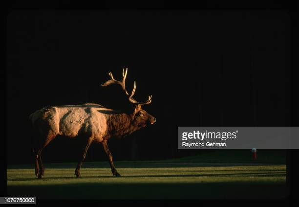 Bull Elk at Banff Springs Golf Course