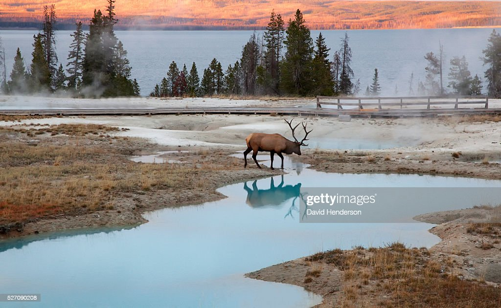 Bull Elk at thermal pools, Wyoming, USA : Stock Photo