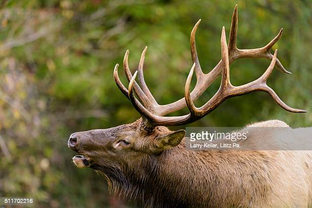 bull elk bugling close-up - animal call stock pictures, royalty-free photos & images