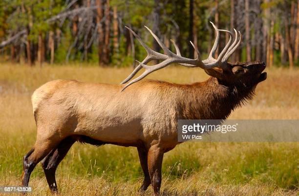 Bull Elk Bugling Norris Junction Yellowstone National Park Wyoming