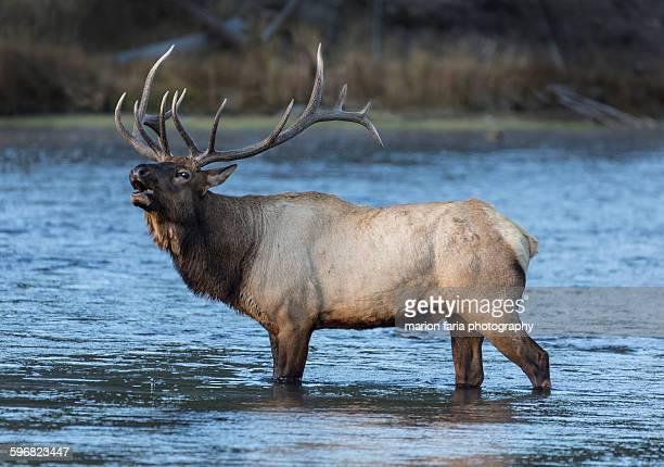 bull elk bugling - wapiti foto e immagini stock