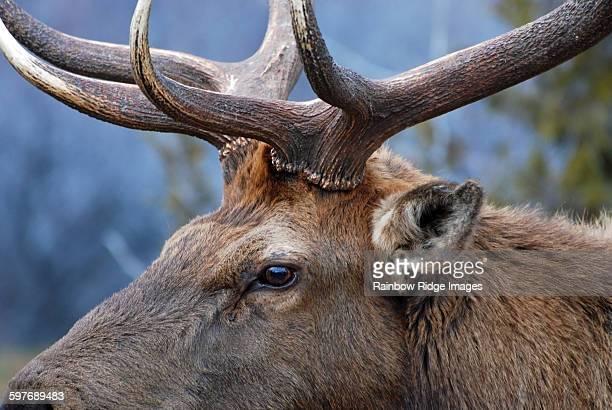Bull Elk Close-Up