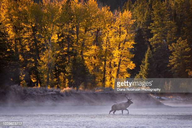 bull elk crossing the snake river through the mist just after sunrise, grand teton national park, wyoming - bull snake stock pictures, royalty-free photos & images