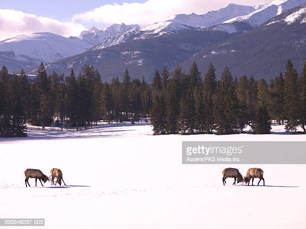 Bull elk (cervus elaphus) fighting in snow covered landscape