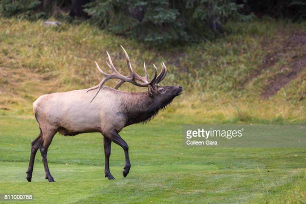 bull elk in banff national park, alberta, canada - banff springs golf course stock photos and pictures