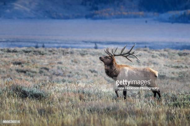 bull elk in grand teton national park, wyoming - wapiti foto e immagini stock